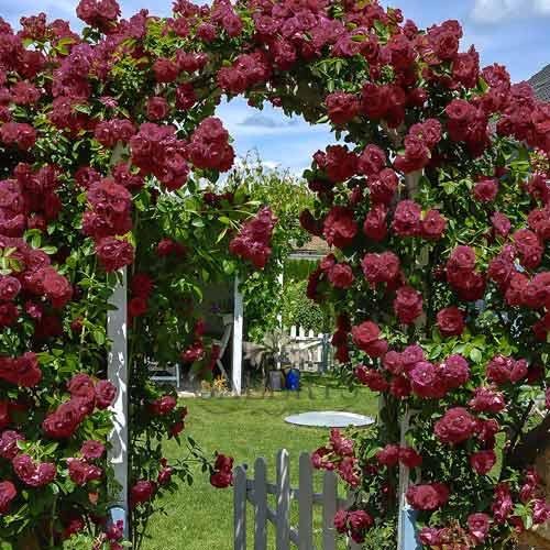 Роза Черный принц изображение 2