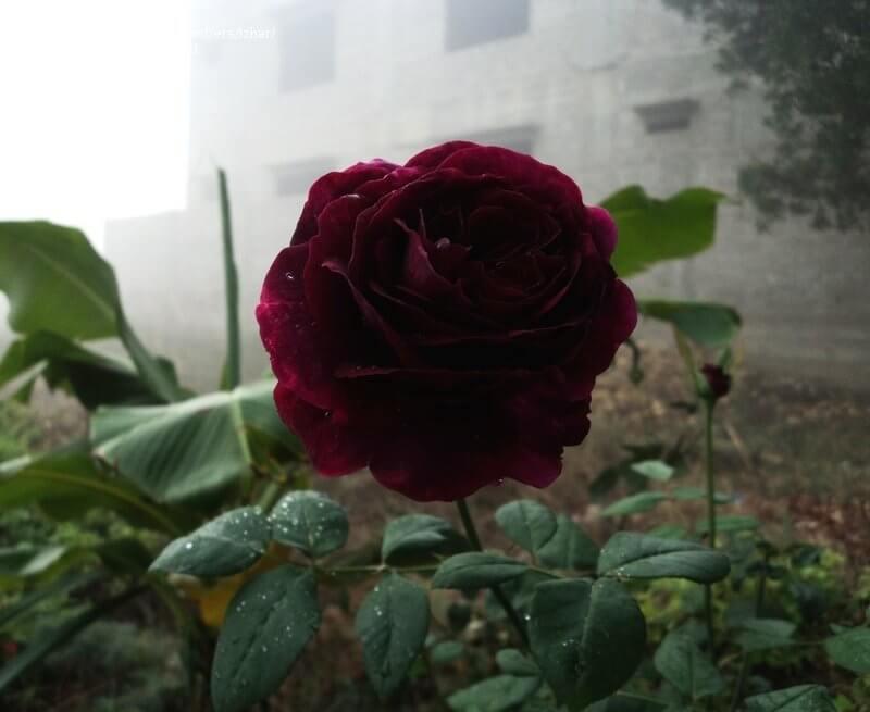 Роза Черный принц 3