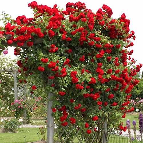 Роза Амадеус 2
