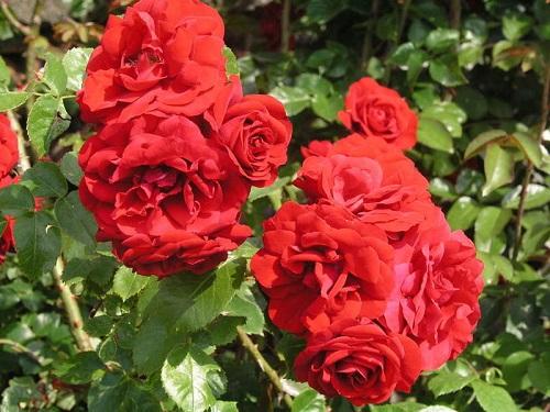 Роза Амадеус 1