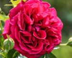 Роза Кинг Артур