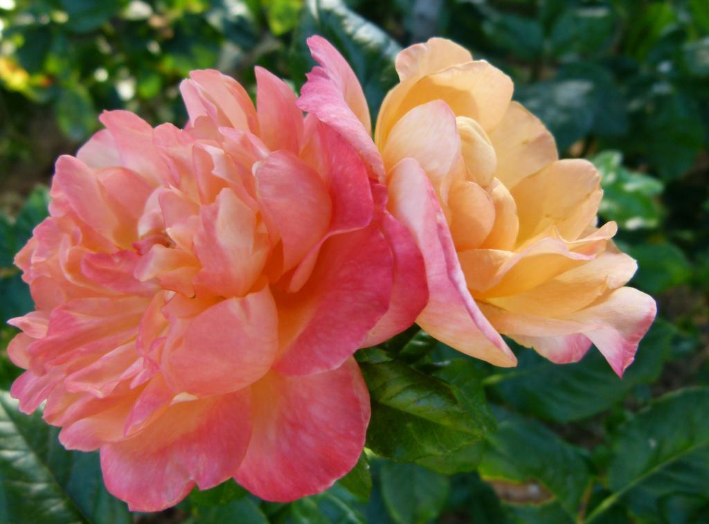 Роза Кинг Артур 3