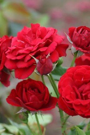 Роза Нина Вейбул изображение 2