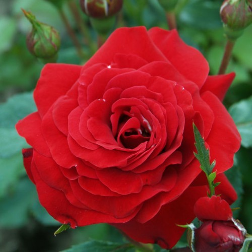 Роза Нина Вейбул 4