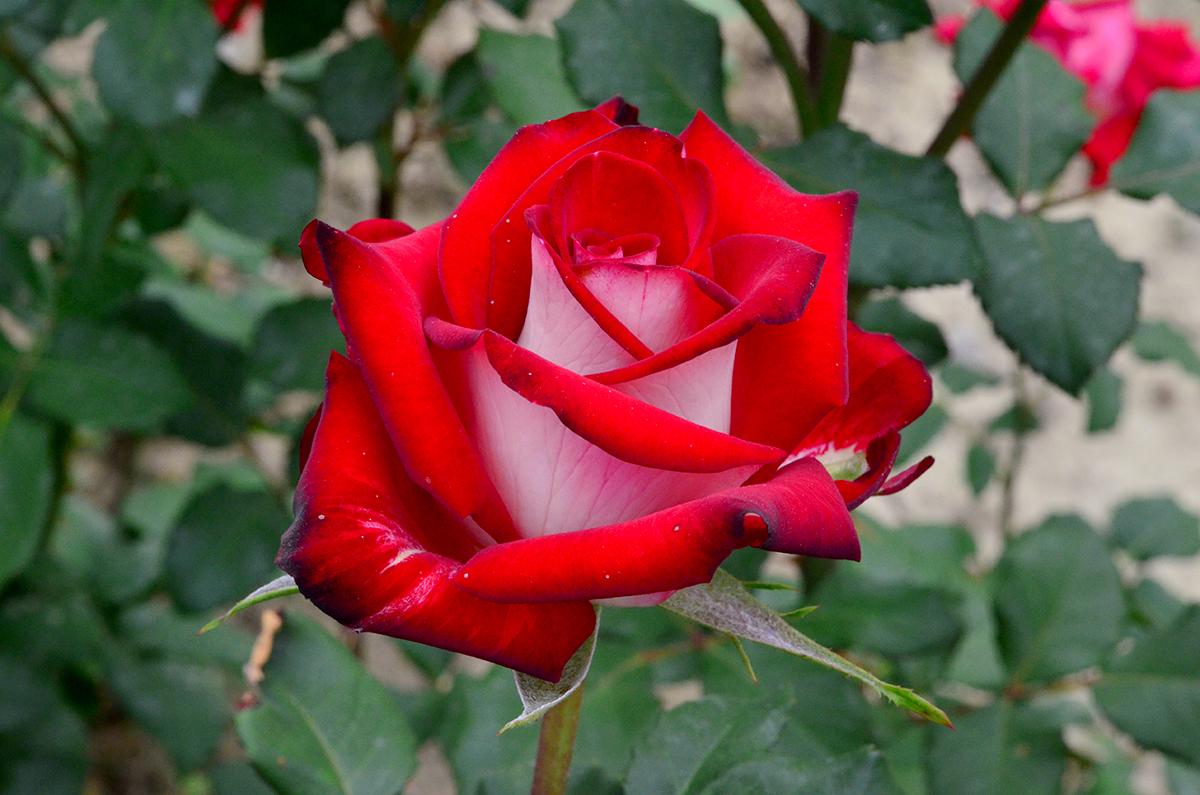 Роза Осирия изображение 2