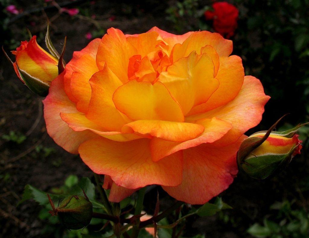 Роза Сахара изображение 1
