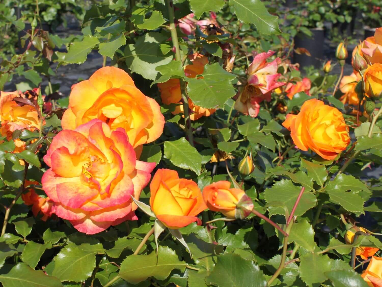 Роза Сахара изображение 2