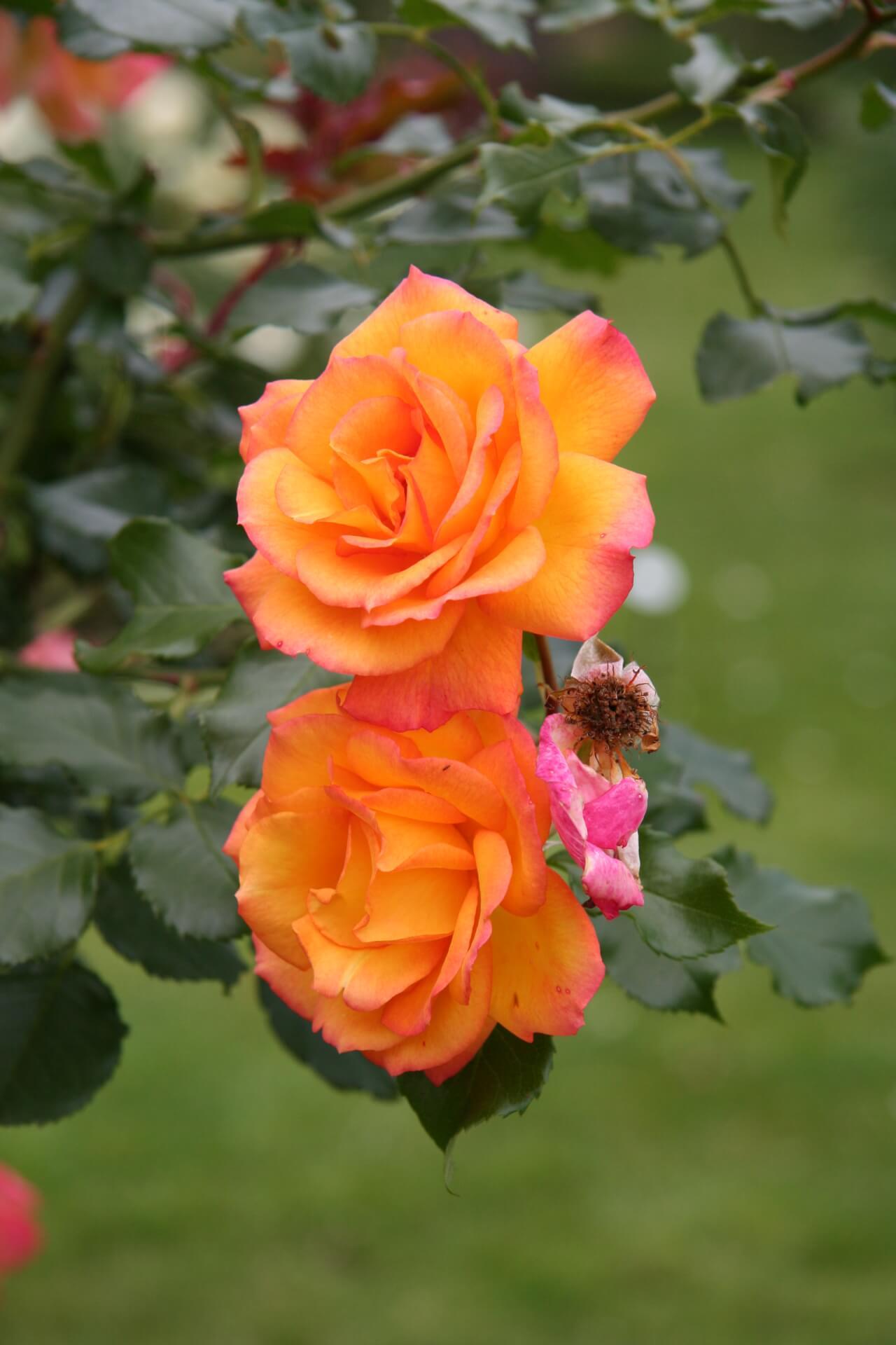 Роза Сахара изображение 3