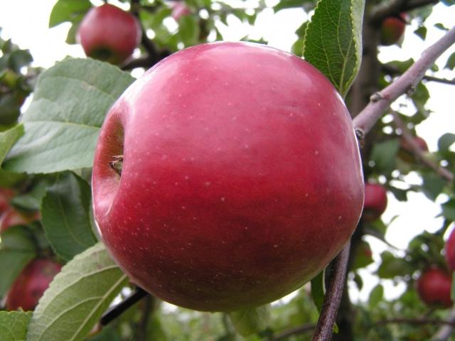 Яблоня Китайка Красная изображение 2