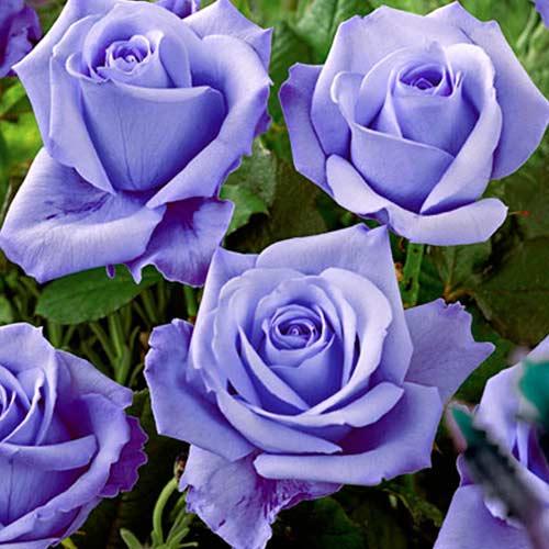 Роза Голубая изображение 1
