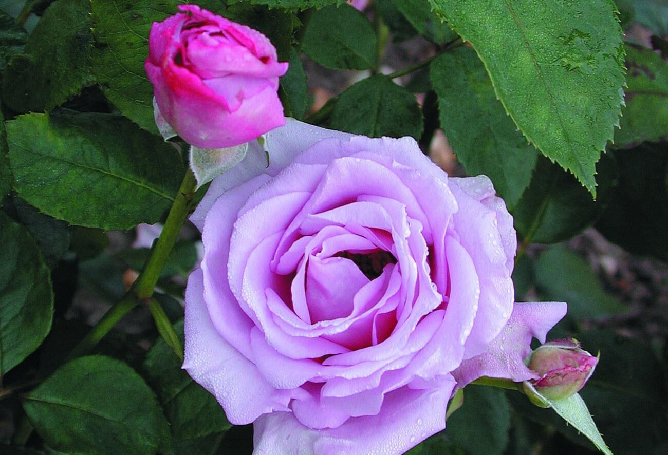 Роза Голубая изображение 2