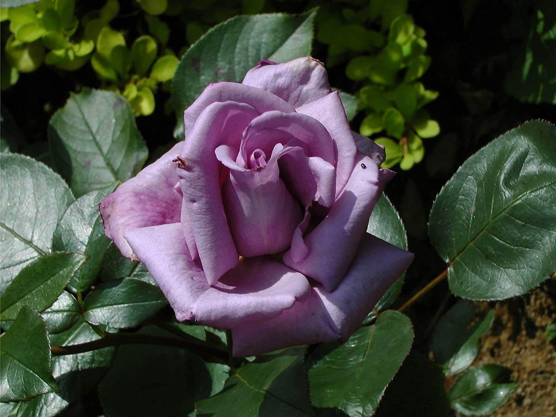 Роза Голубая изображение 3