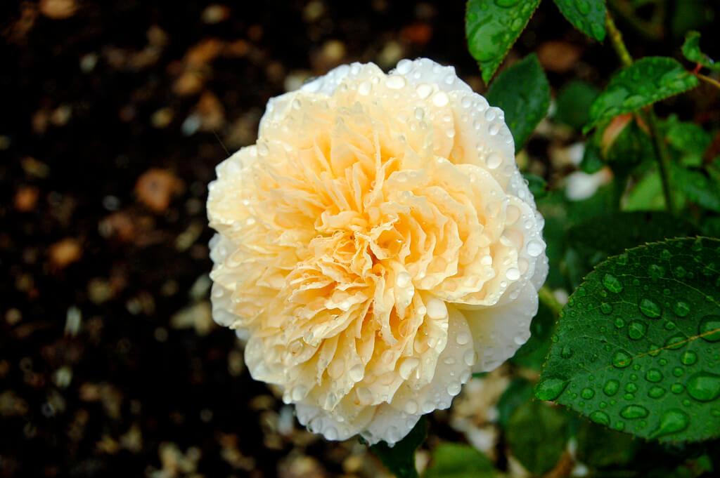 Роза Импрессионист 3