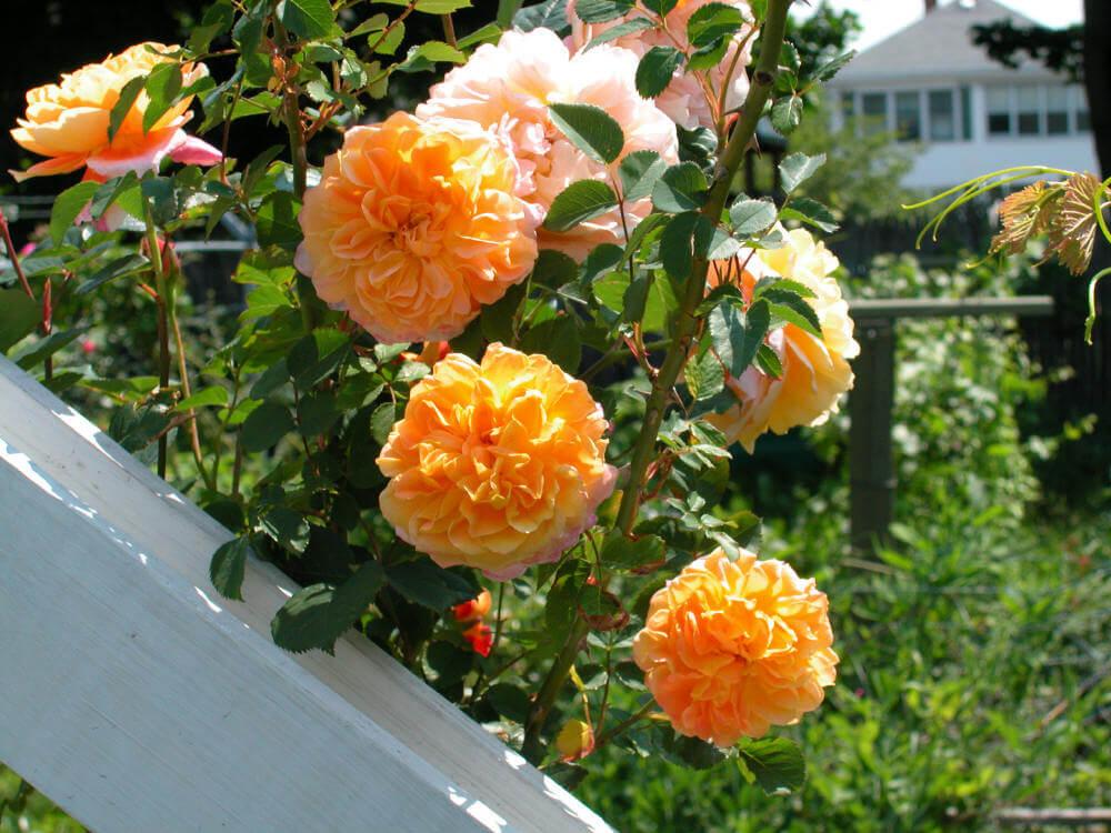 Роза Импрессионист 1