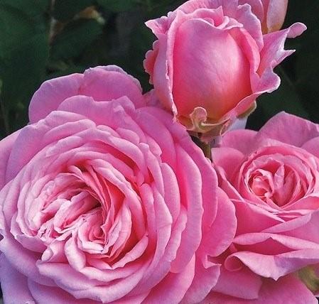 Роза Саммер Романс 2