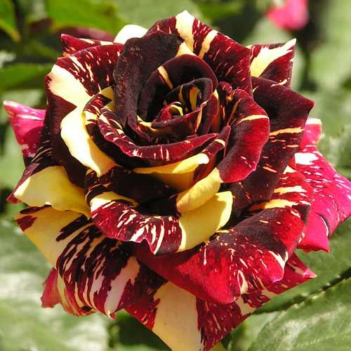 Роза Абракадабра 1