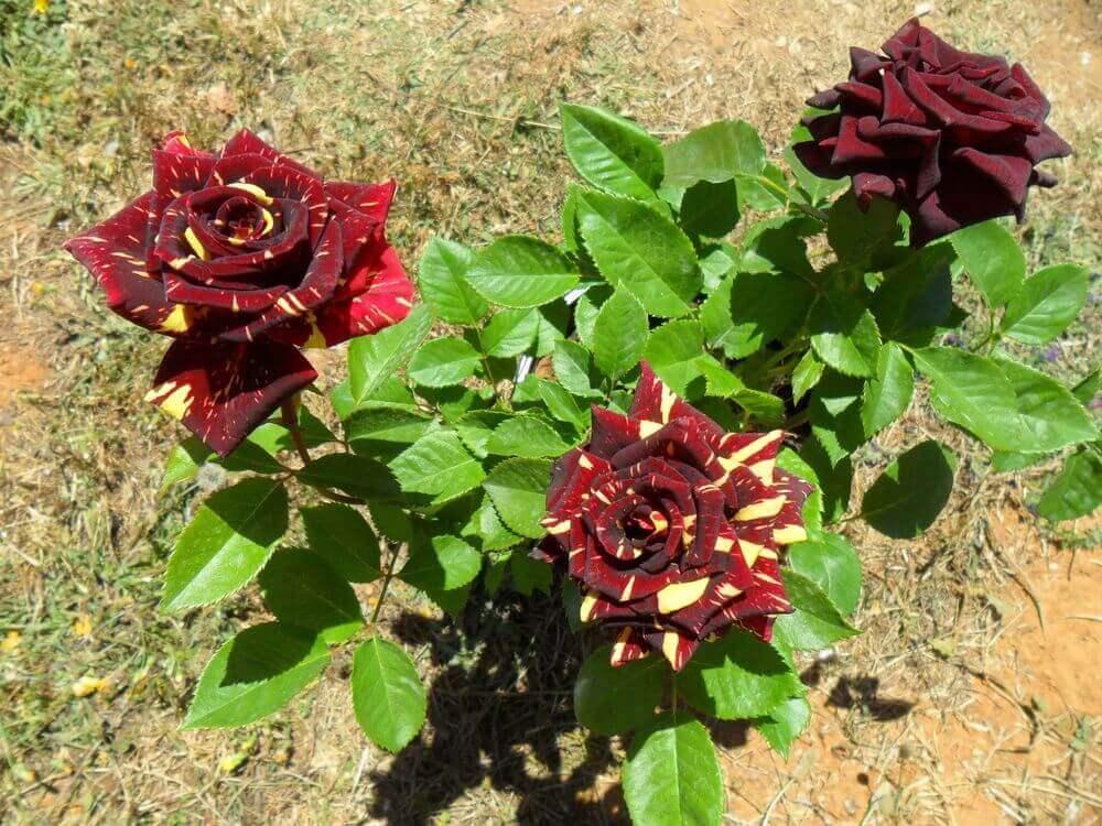 Роза Абракадабра 3