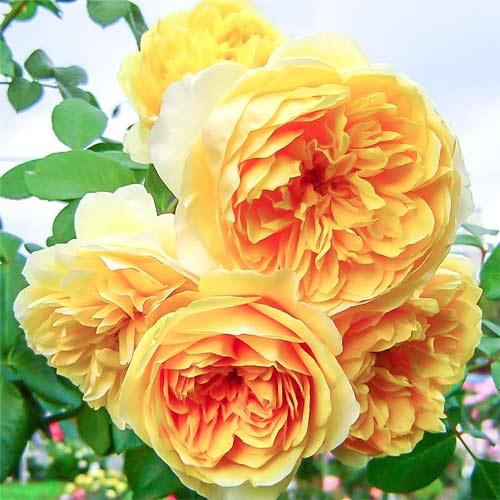 Роза Грэхам Томас 1