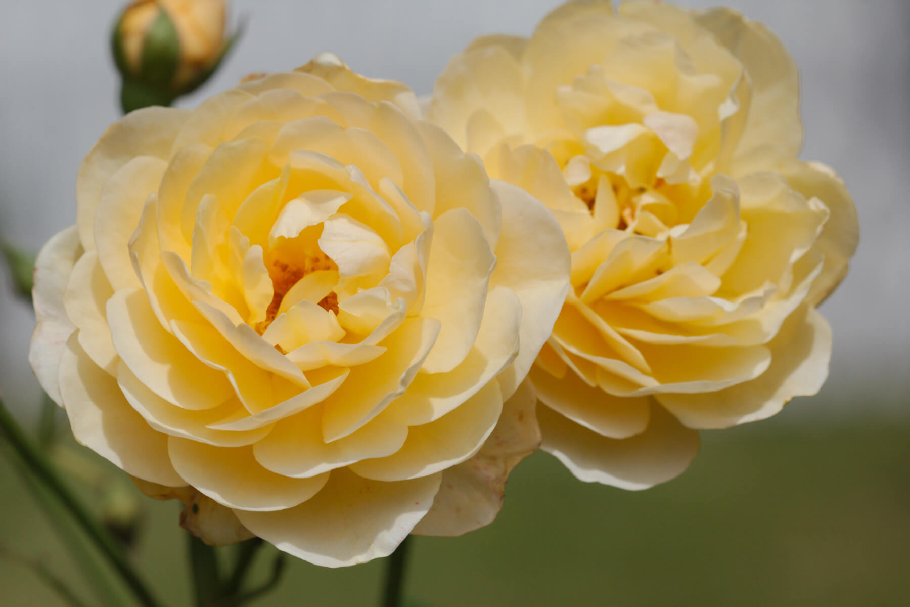 Роза Грэхам Томас 2