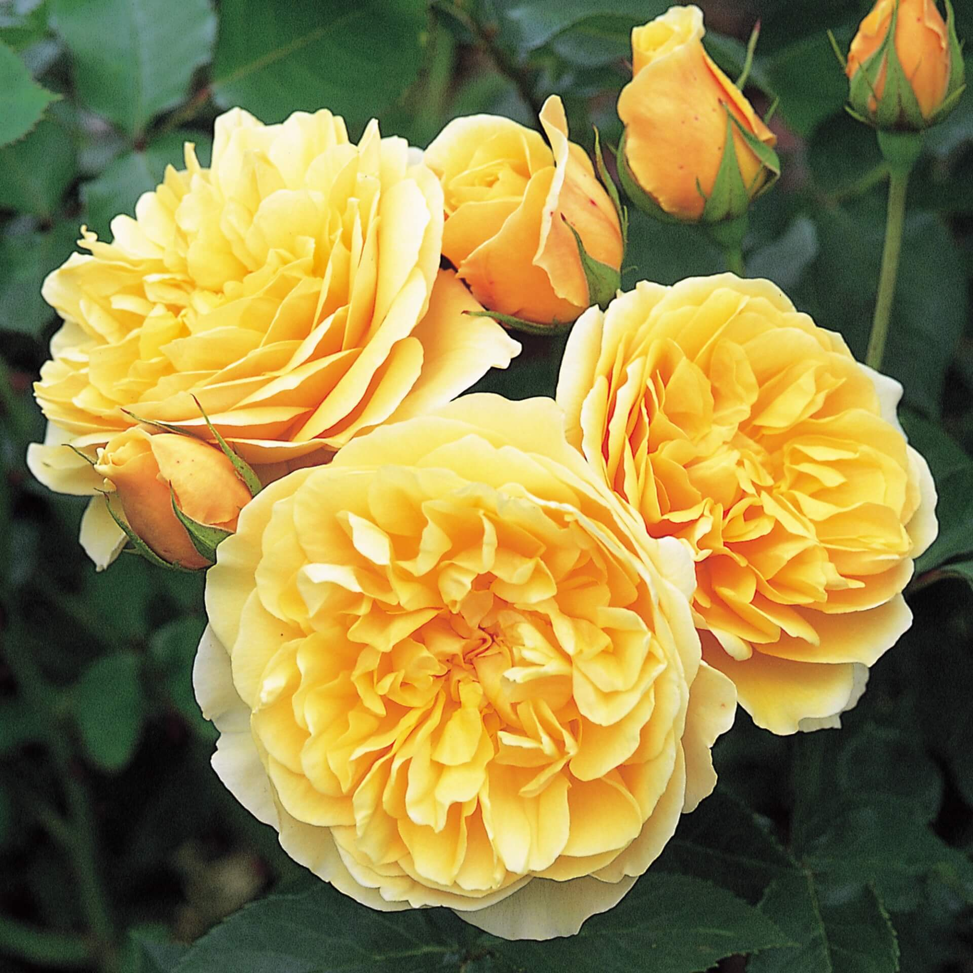 Роза Грэхам Томас 3