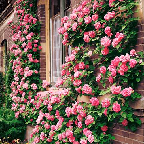 Роза Корал Доун 2