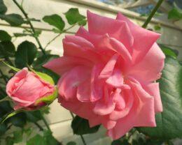 Роза Корал Доун