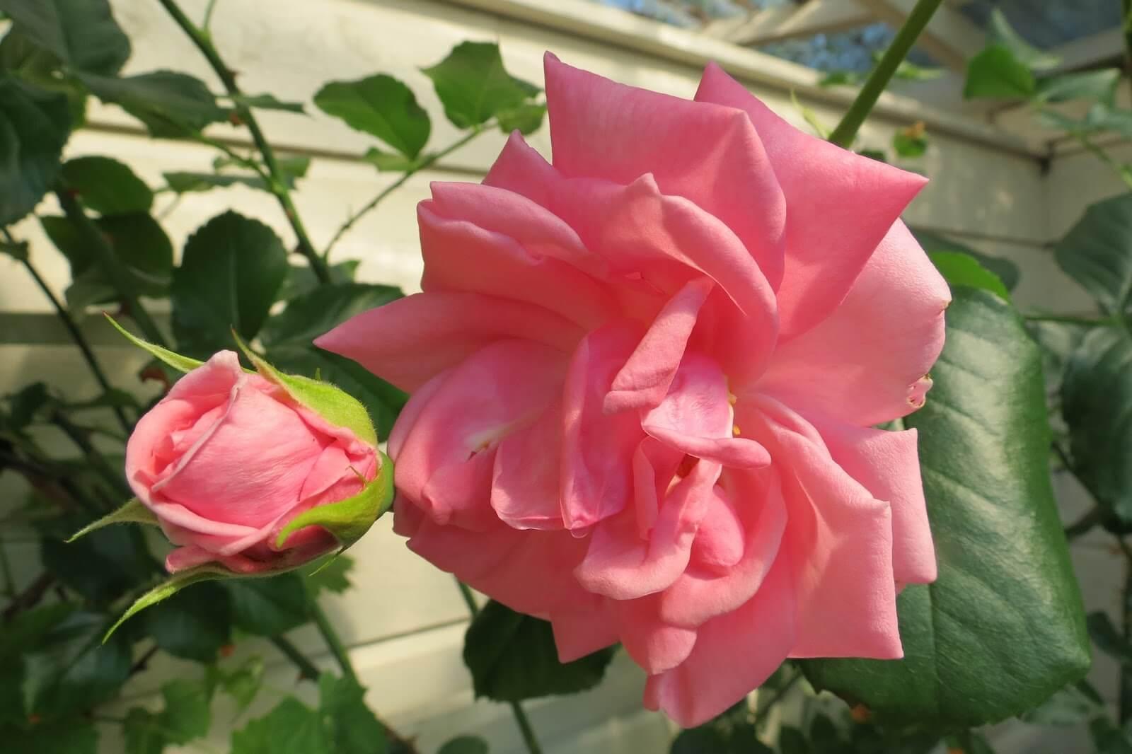 Роза Корал Доун 1