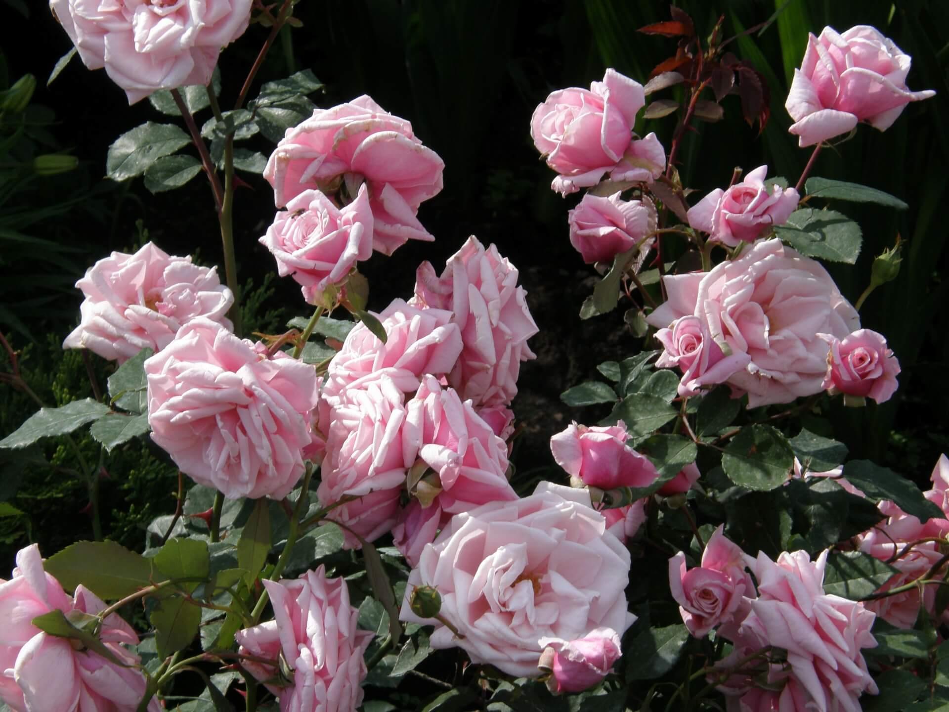 Роза Корал Доун 4