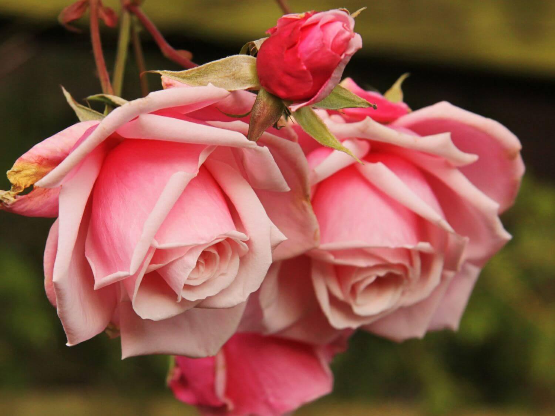 Роза Корал Доун 3
