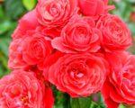 Роза Черри герл