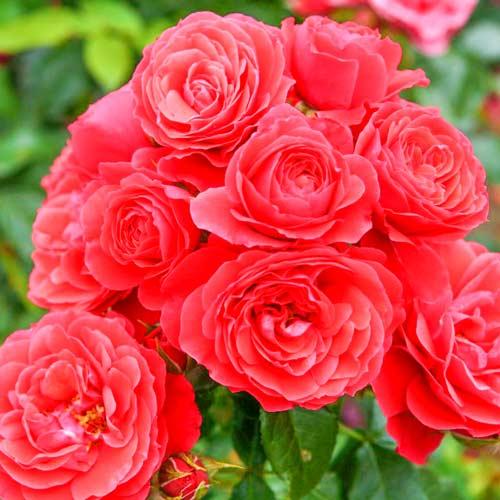 Роза Черри герл 1
