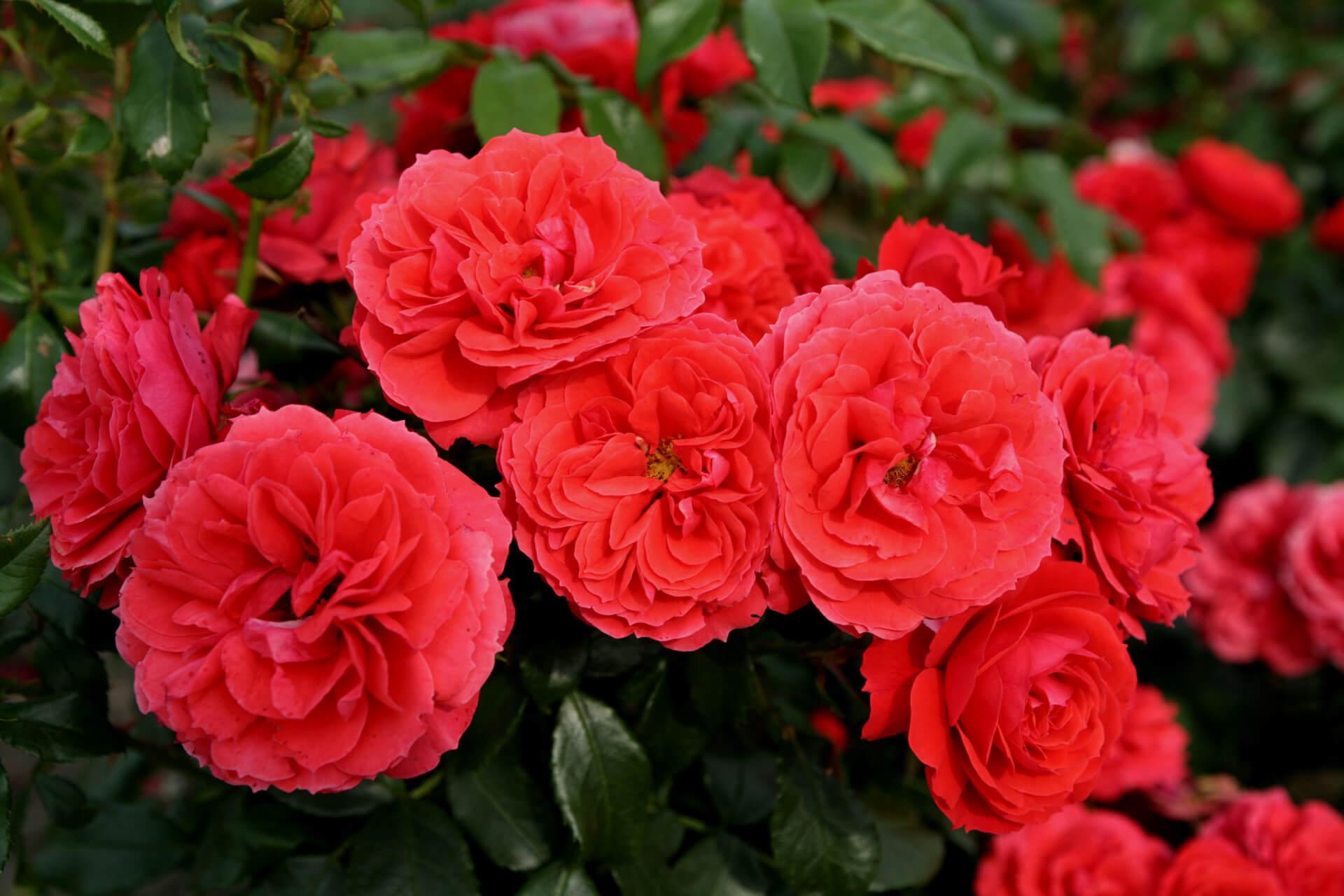 Роза Черри герл 2