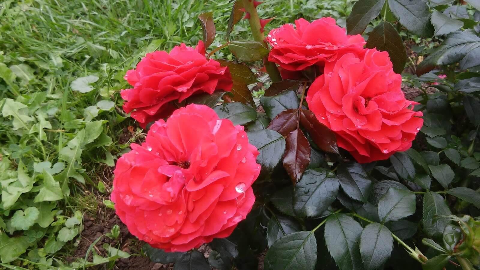 Роза Черри герл 4