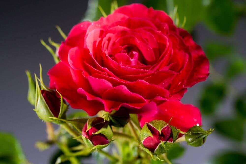 Роза Черри герл 3