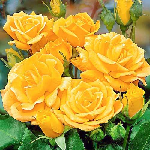 Роза Артур Белл 1