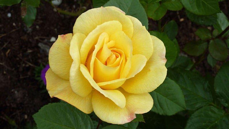 Роза Артур Белл 2