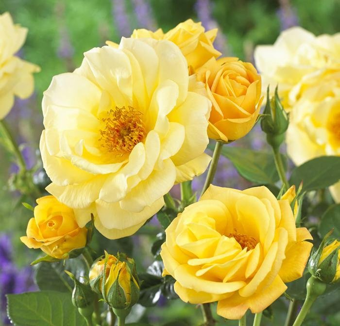 Роза Артур Белл 4