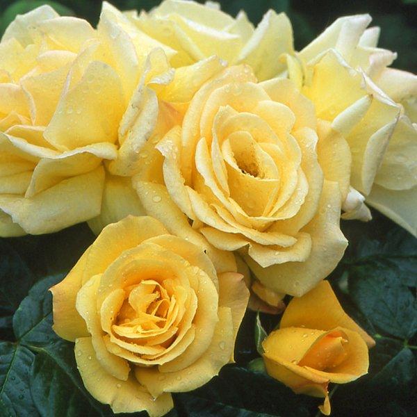 Роза Артур Белл 3