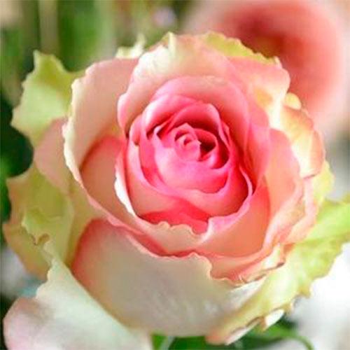 Роза Дансин Квин 1