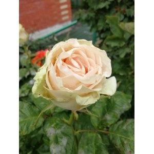 Роза Дансин Квин 3