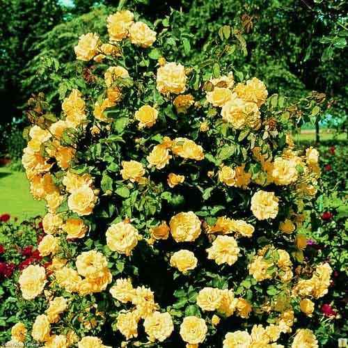 Роза Казино 2