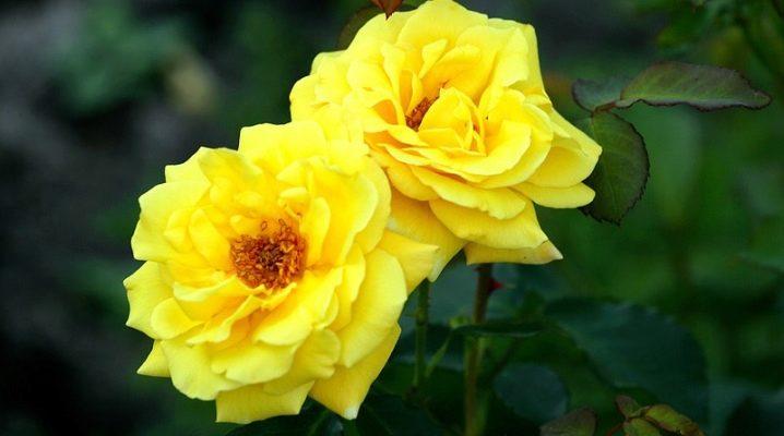 Роза Казино 3