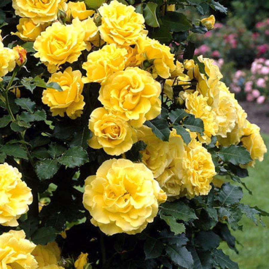 Роза Казино 1