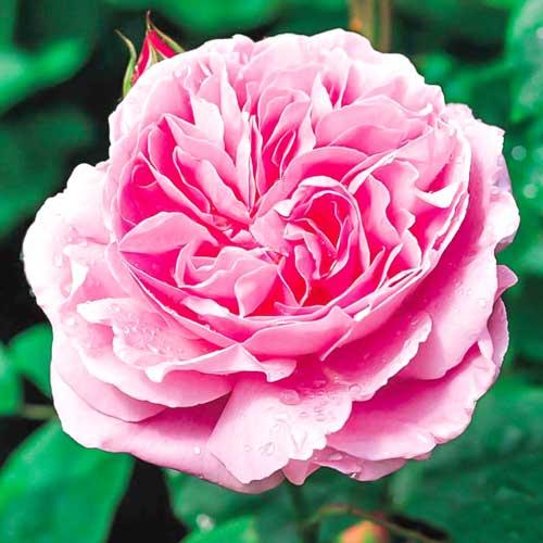 Роза Мэри Роуз изображение 1