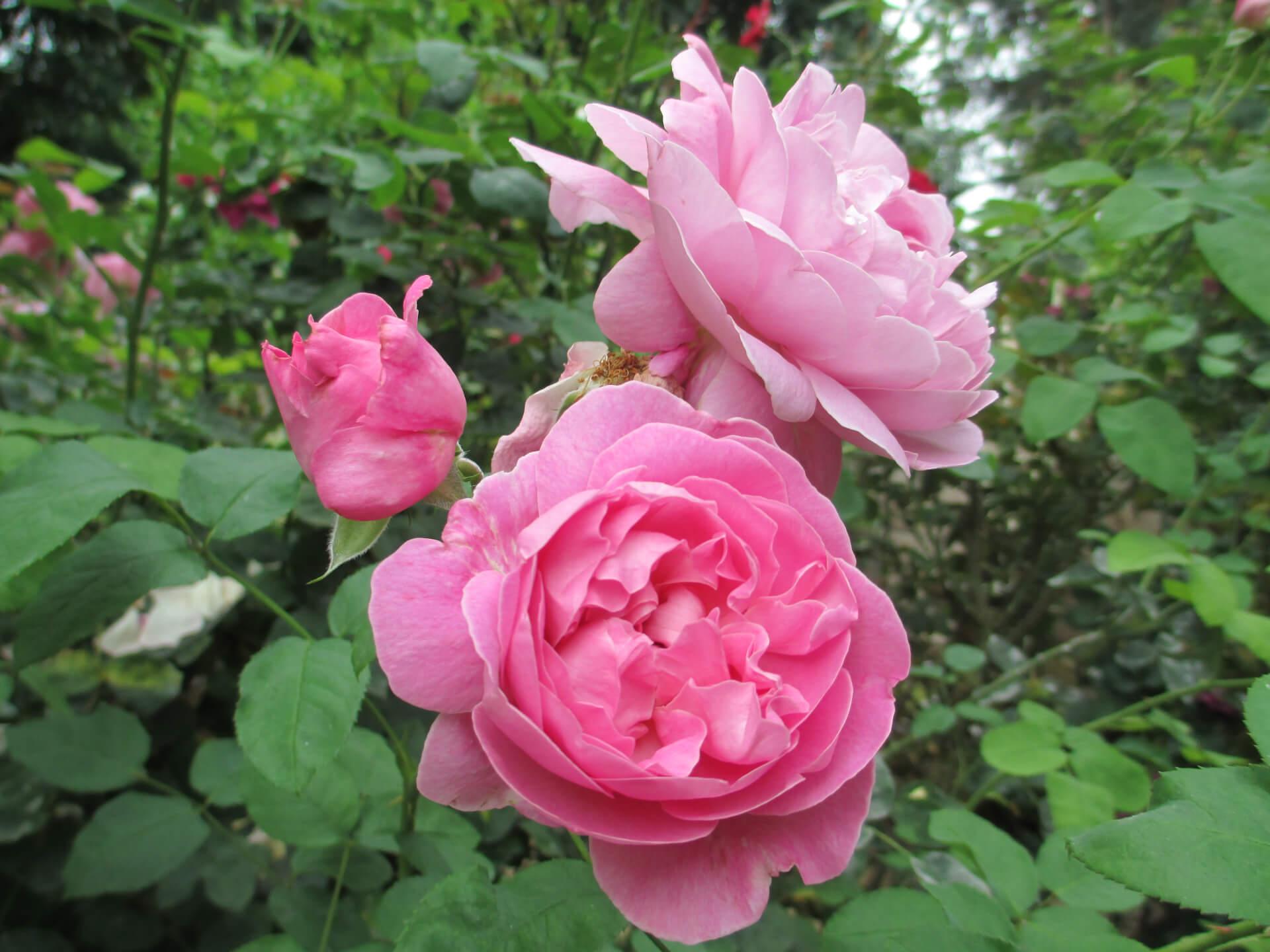 Роза Мэри Роуз изображение 2