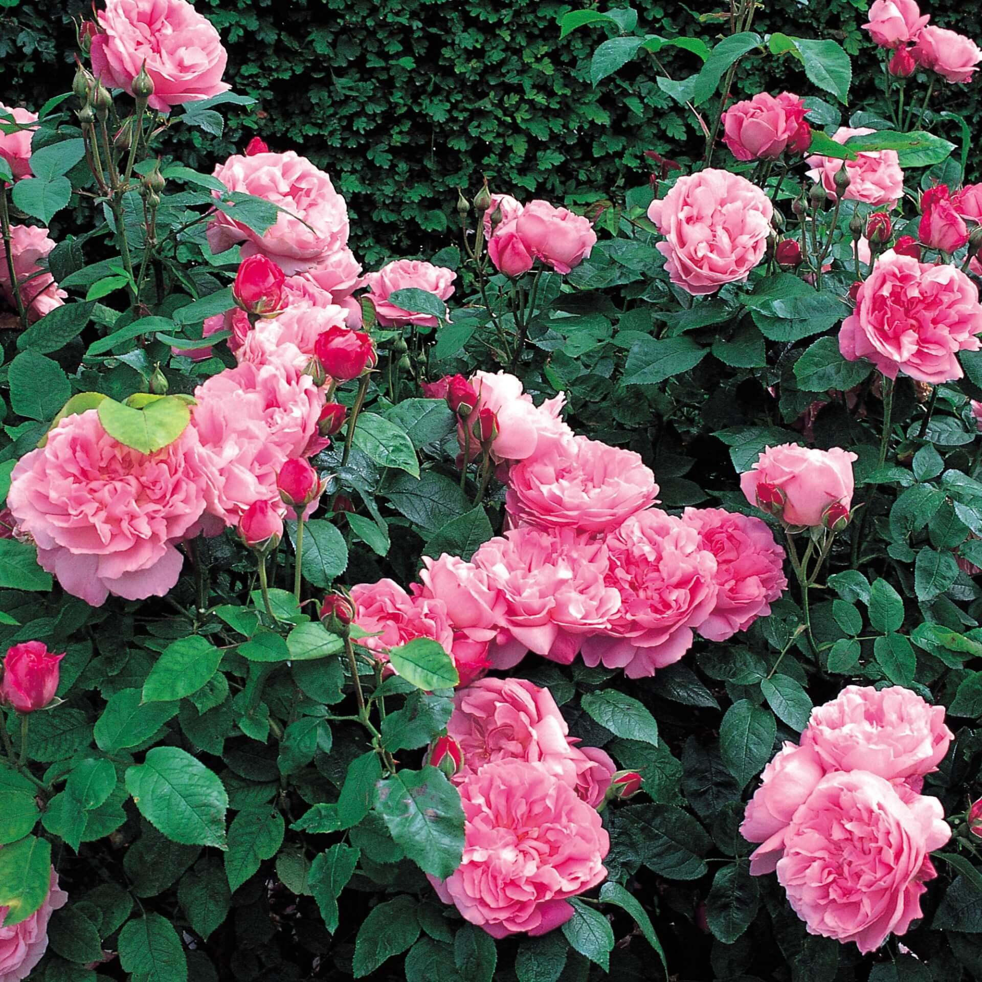 Роза Мэри Роуз изображение 4