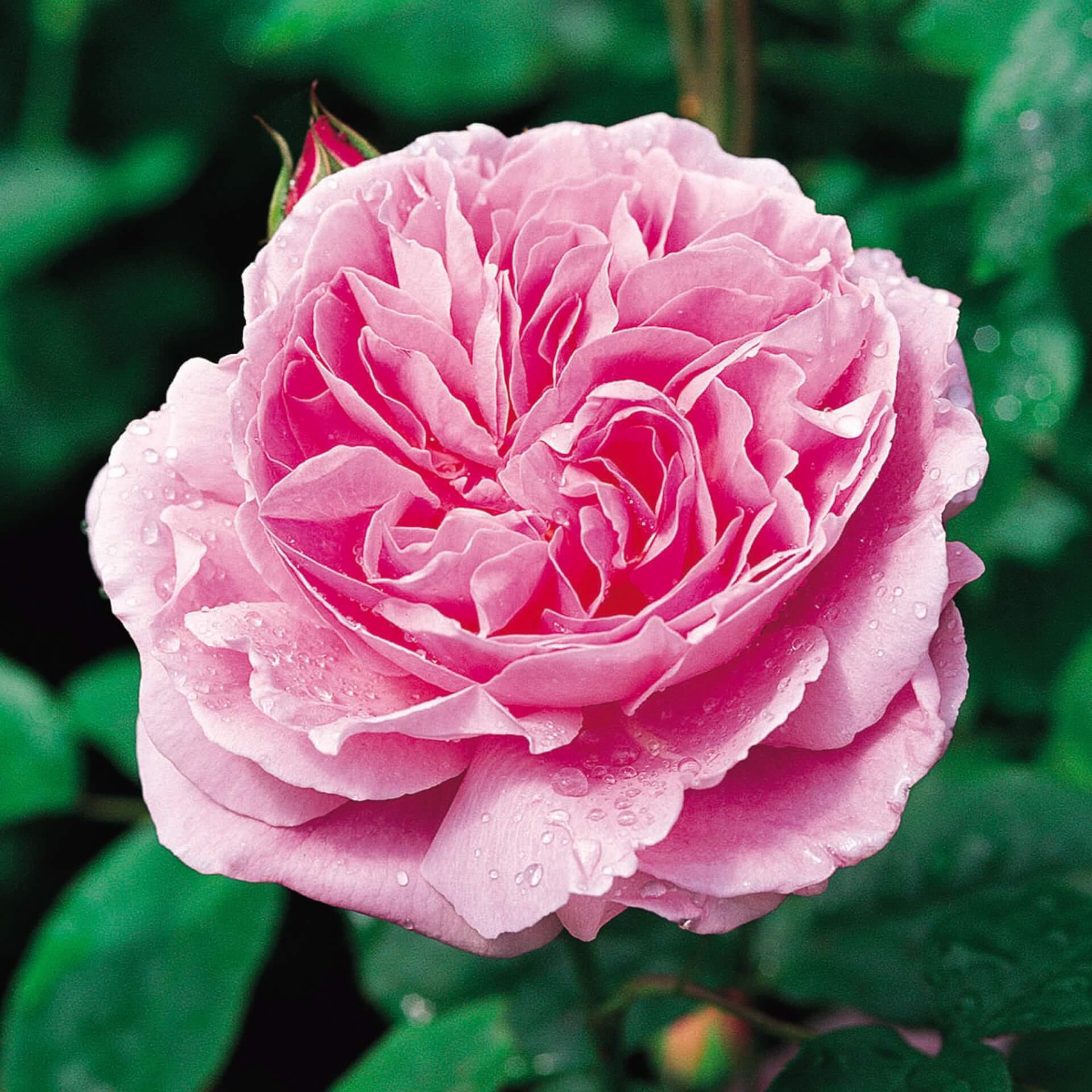 Роза Мэри Роуз изображение 3
