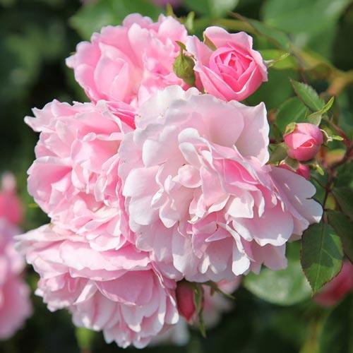 Роза Боника 1