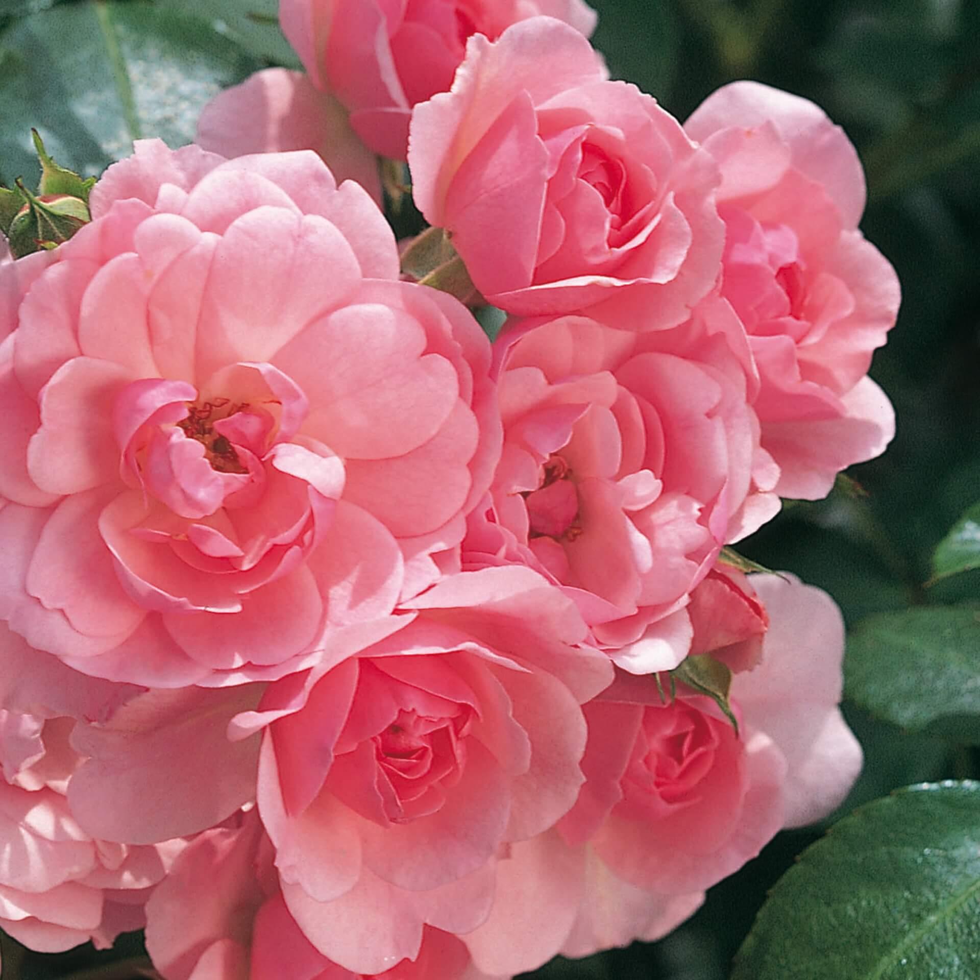 Роза Боника 2