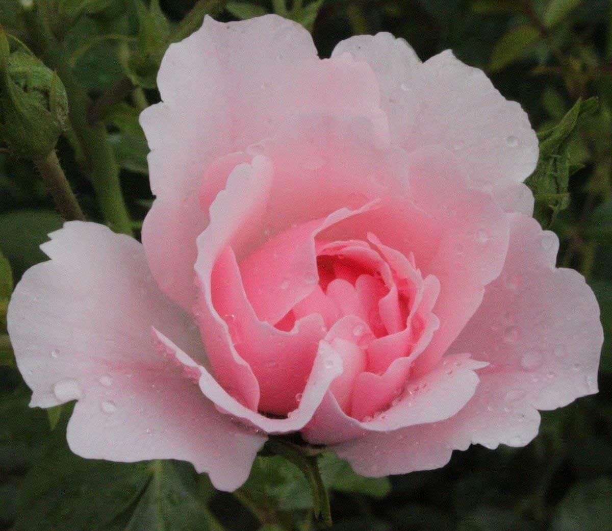 Роза Боника 4